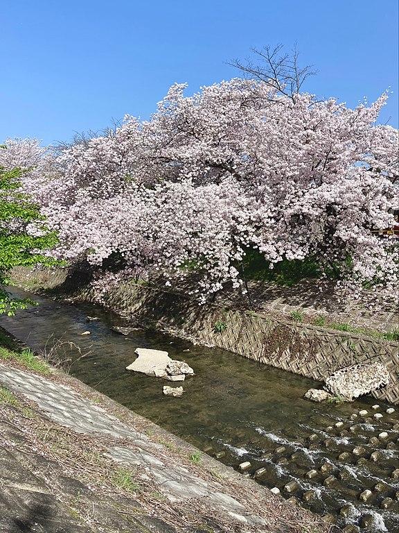 奈良市の佐保川に残る川路桜