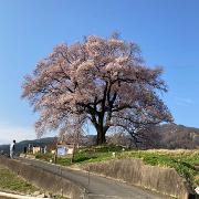桜ぴょん吉さんのアイコン